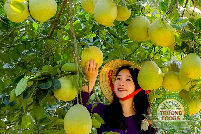Bưởi Đoan Hùng đặc sản Phú Thọ mua về làm quà được nhiều người lựa chọn.